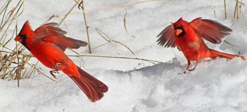Northern_cardinals_on_snow